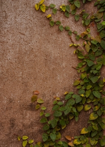The Green Creeper Plant on the Wall.